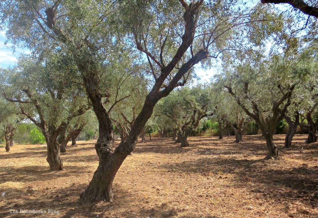 Olive Trees photo essay, Olive grove -The Tenacious Olive Trees The Boondocks Blog