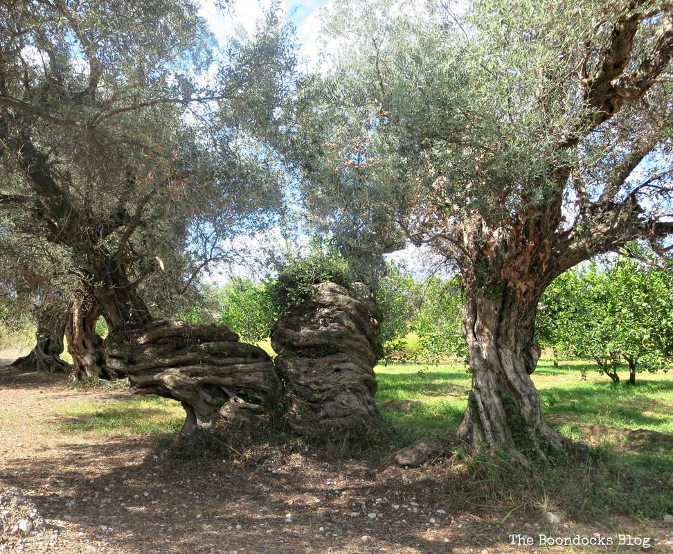 Olive Trees photo essay -The Tenacious Olive Trees the Boondocks blog