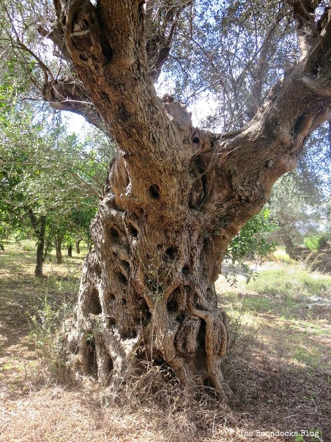 Olive tree photo essay - The Tenacious Olive Trees The Boondocks Blog