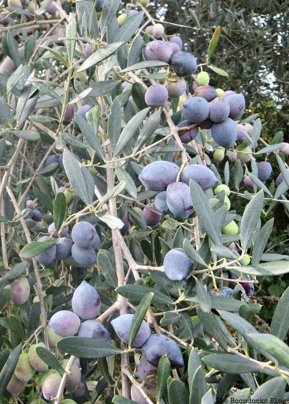 Olive Tree Photo essay The Tenacious Olive Trees - the Boondocks Blog