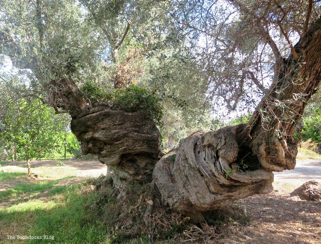 Olive Trees photo essay - The Tenacious Olive Trees The Boondocks Blog