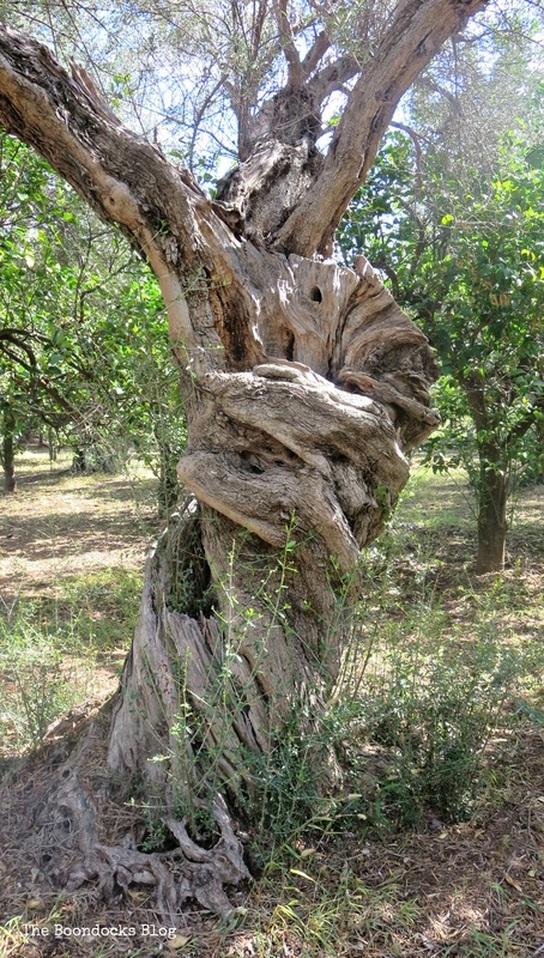 Olive Trees photo essay The Tenacious Olive Trees - The Boondocks Blog
