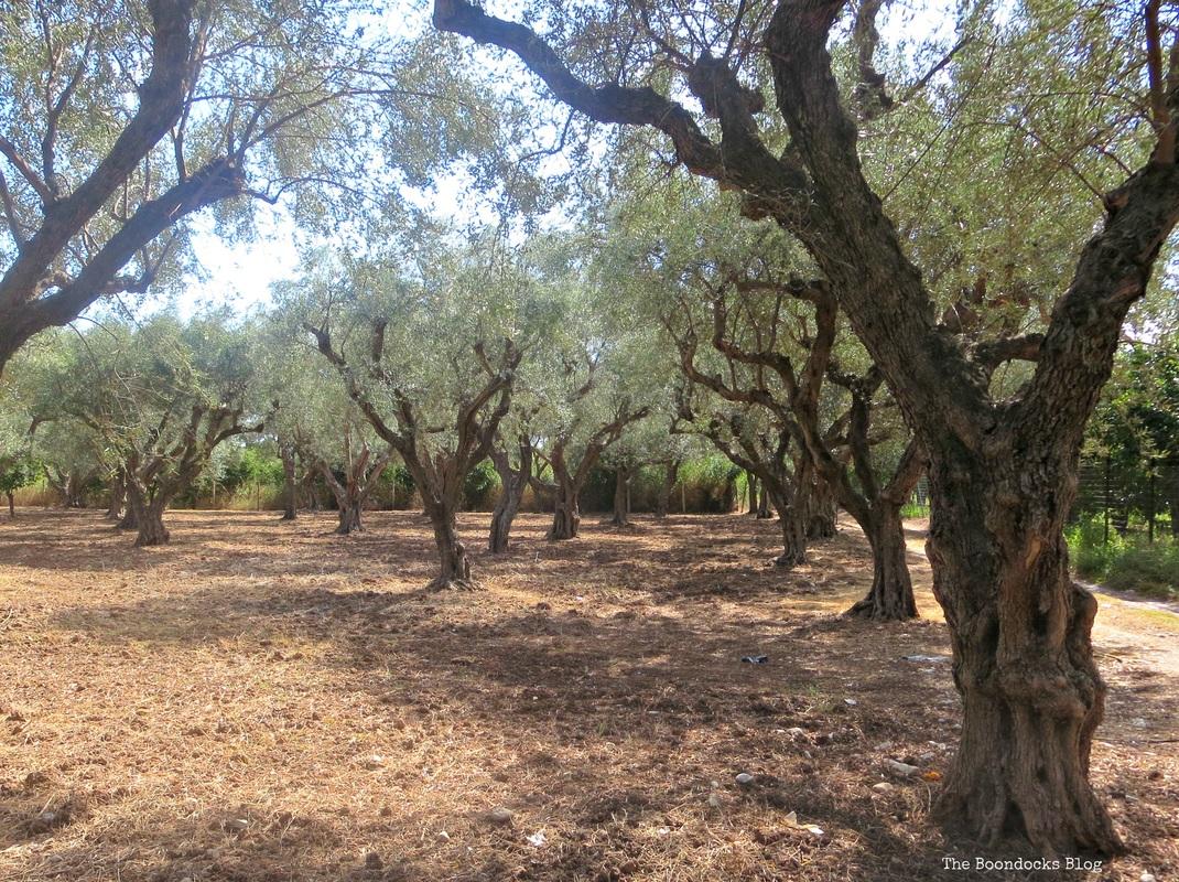 Olive Tree photo essay, Olive Groves - The Tenacious Olive Trees The Boondocks Blog
