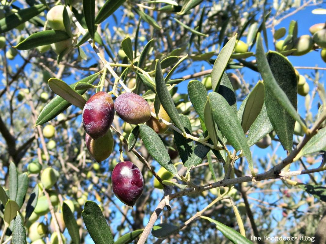 Olive Trees photo essay, Olives, The Tenacious Olive Trees The Boondocks Blog