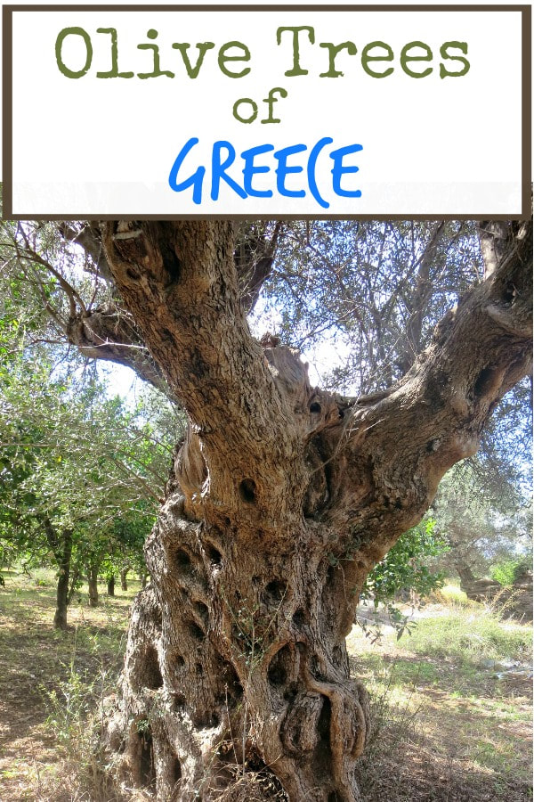 Olive Tree Photo essay #photography #photoessay #greece #olivetrees #olives #olivegroves #travel The Tenacious Olive Trees - the Boondocks Blog