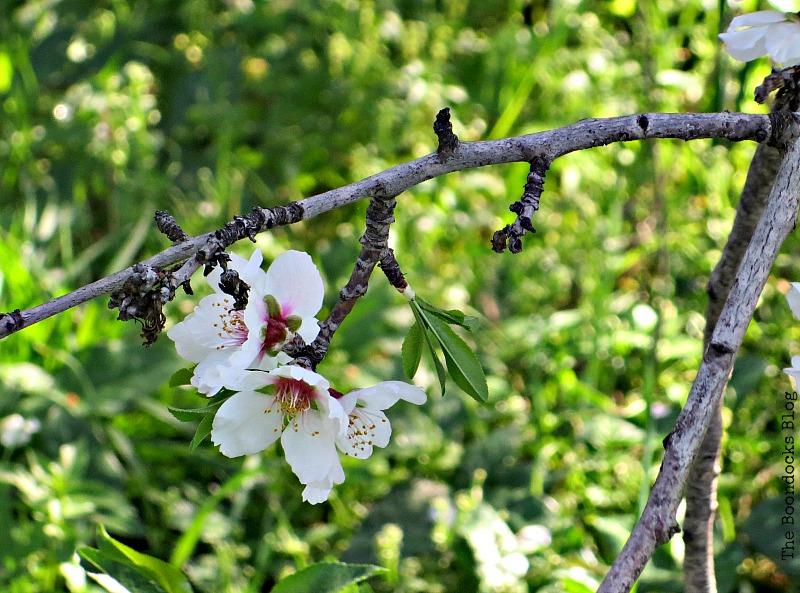 Almond Flower, Int'l Bloggers Club - www.theboondocksblog.com