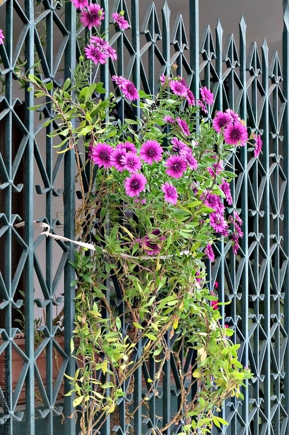 Flowers on fence Flowers for Spring in Greece Int'l bloggers Club Challenge www.theboondocksblog.com