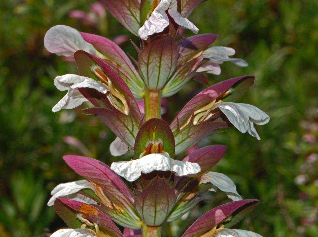 Bear's Breeches or Akanthos flower