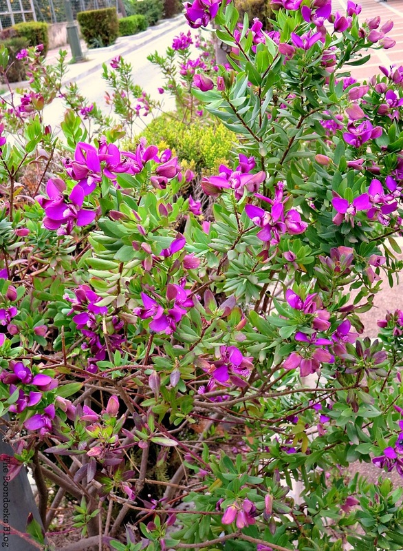 Flowers for Spring in Greece Int'l bloggers club challenge www.theboondocksblog.com