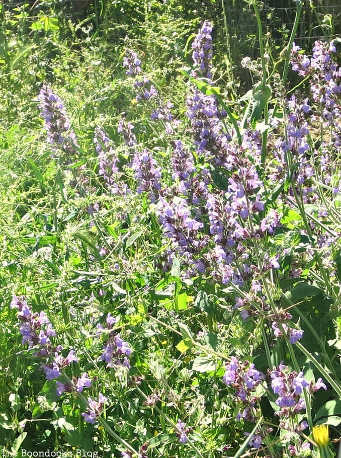 Sage from the farm, Celebrating May Day www.theboondocksblog.com