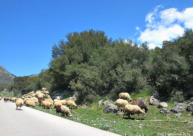 Sheep grazing The majestic Mountains of Greece www.theboondocksblog.com