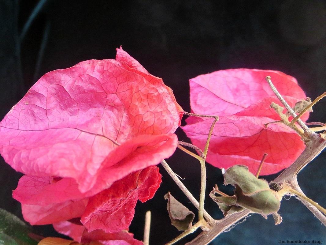 bougainvillea flowers, Facebook Photos for August www.theboondocksblog.com