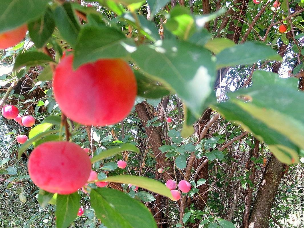 plum cherries on the treeFacebook Photos for August www.theboondocksblog.com