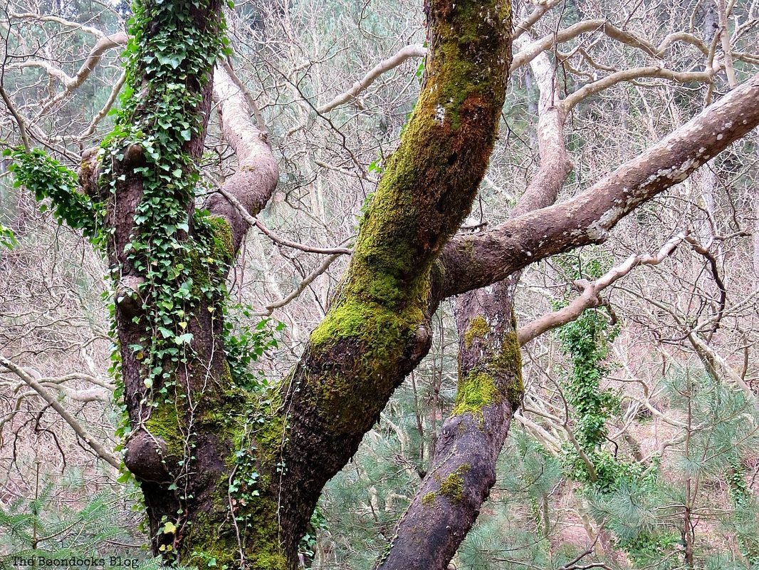 Mossy tree in the forest, Facebook Photos for November www.theboondocksblog.com