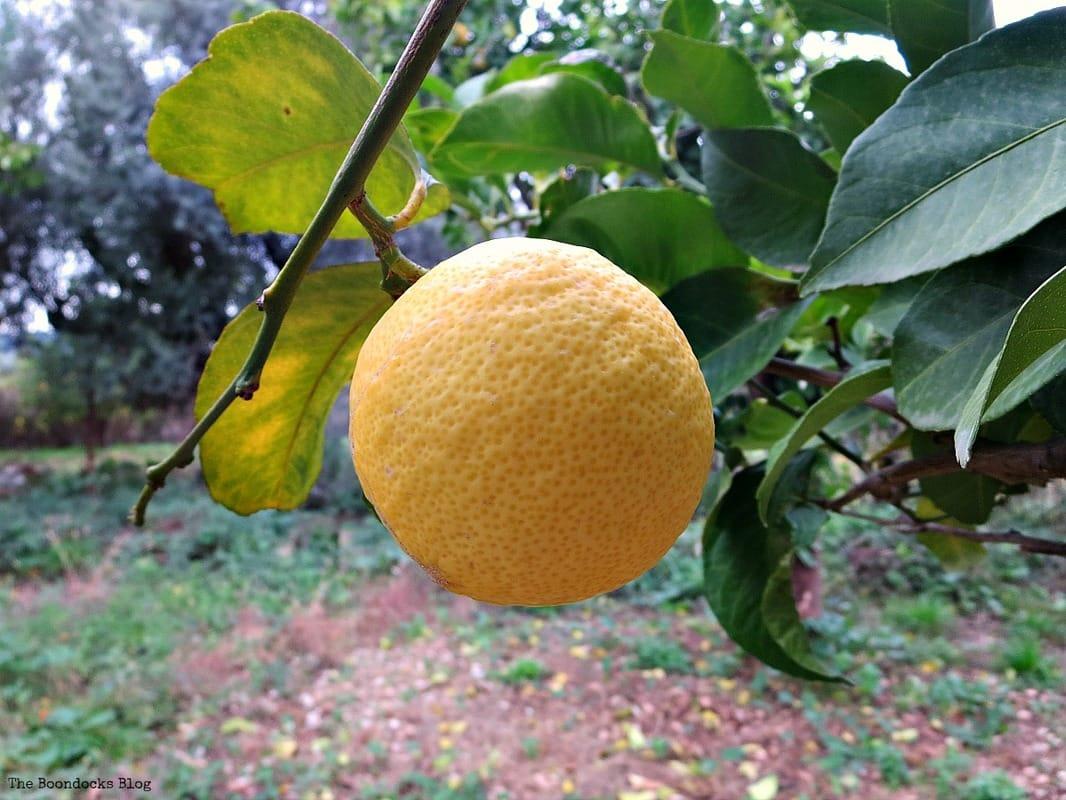 orange dangling from a tree, Facebook Photos for December www.theboondocksblog.com
