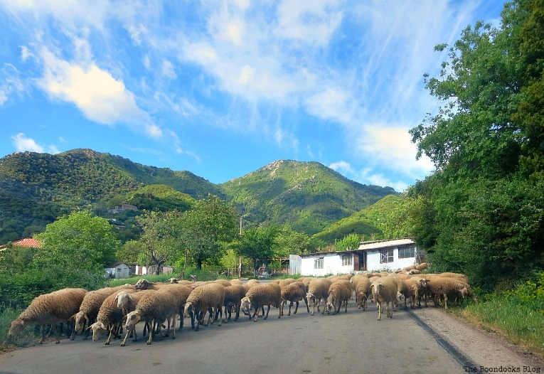 a traffic jam with sheep, A Road Trip on the Way to the Mountains, www.theboondocksblog.com