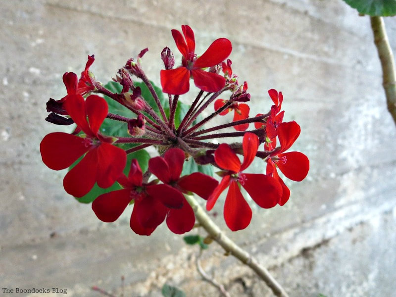 red flower, Photo of the Day July 2017 www.theboondocksblog.com