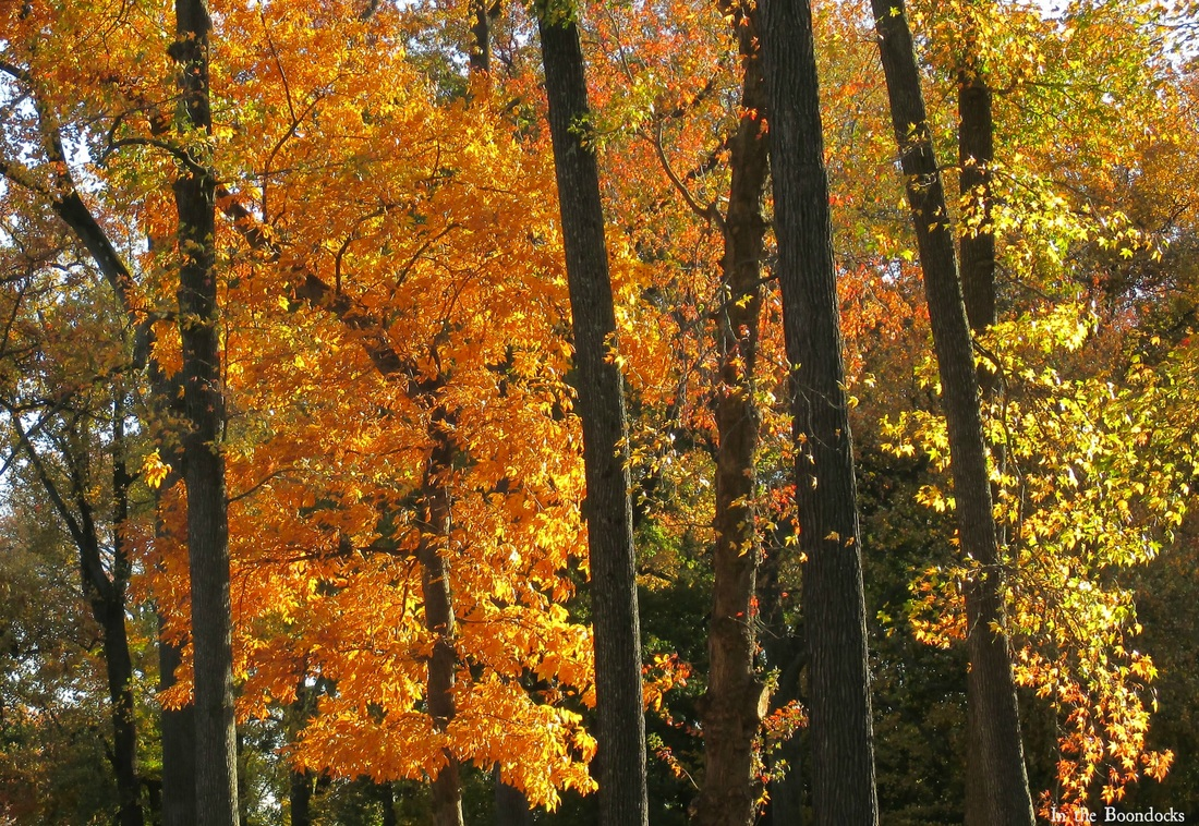 tree trunks, My Obligatory Post in Praise of Autumn www.theboondocksblog.com