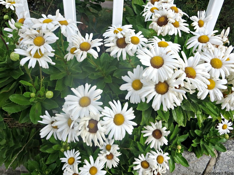 Daisies in NY, Photo of the Day for October 2017 www.theboondocksblog.com