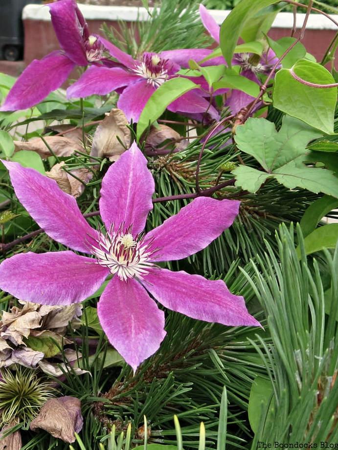 Clematis Pink Champagne, 12 Varieties of Stunning Flowers in my Neighborhood www.theboondocksblog.com
