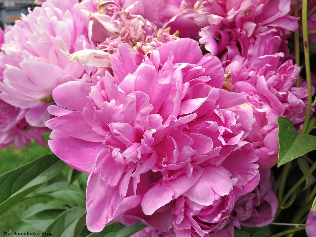 Pink Peonies, 12 Varieties of Stunning Flowers in my Neighborhood www.theboondocksblog.com