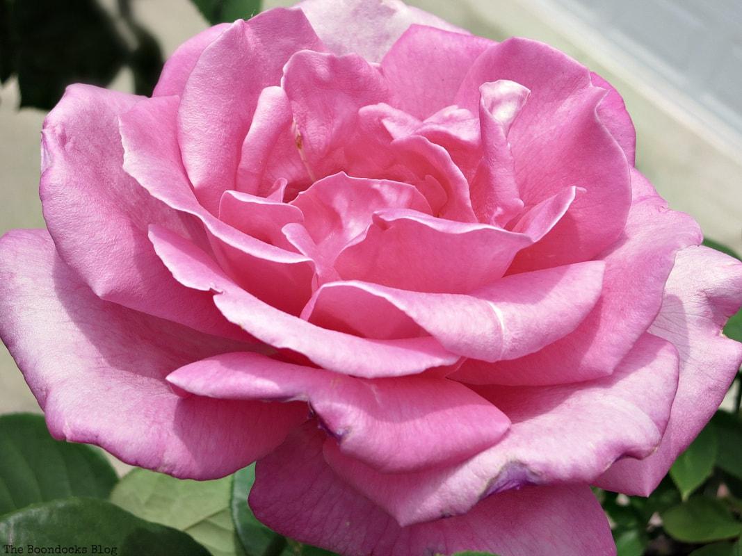 Pink Rose, 12 Varieties of Stunning Flowers in my Neighborhood www.theboondocksblog.com
