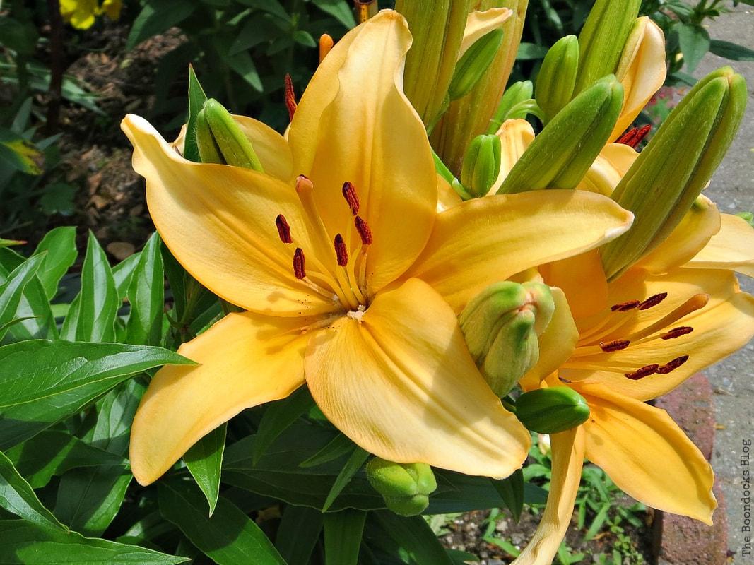 Yellow Lily, 12 Varieties of Stunning Flowers in my Neighborhood www.theboondocksblog.com