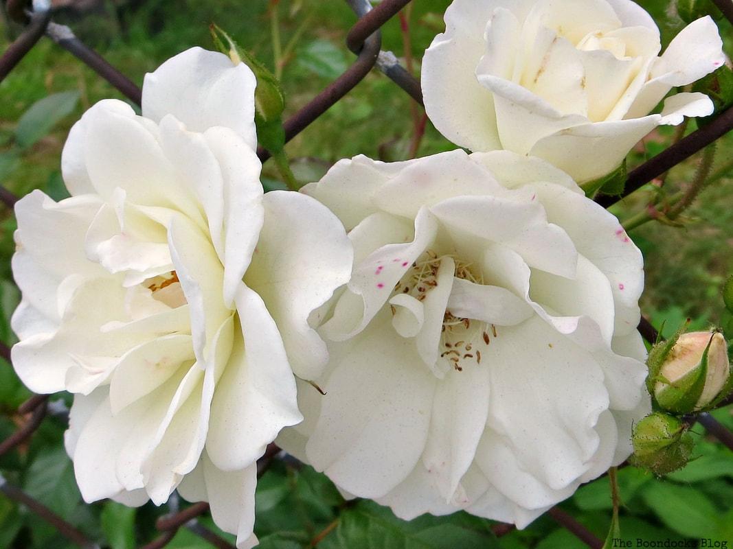 White roses, 12 Varieties of Stunning Flowers in my Neighborhood www.theboondocksblog.com