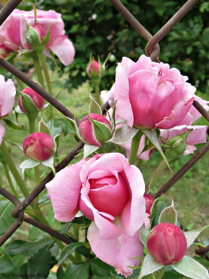 Pink roses, 12 Varieties of Stunning Flowers in my Neighborhood www.theboondocksblog.com