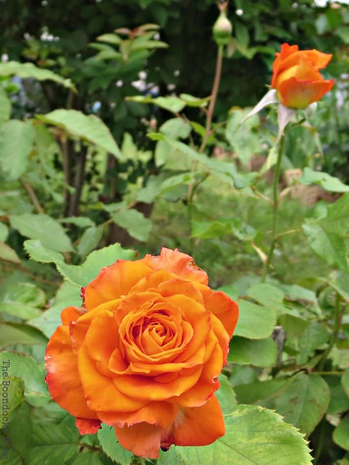Orange roses, 12 Varieties of Stunning Flowers in my Neighborhood www.theboondocksblog.com