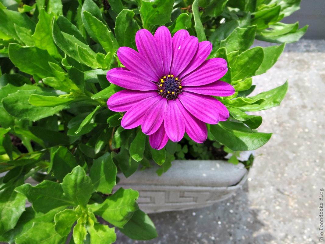 Fuchsia daily, 12 Varieties of Stunning Flowers in my Neighborhood www.theboondocksblog.com