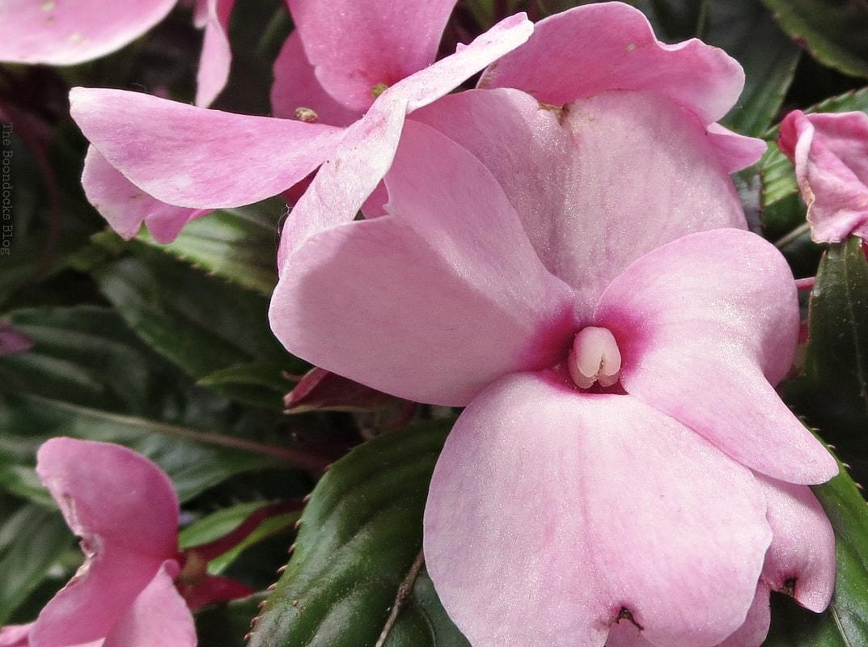 Busy Lizzies, 12 Varieties of Stunning Flowers in my Neighborhood www.theboondocksblog.com