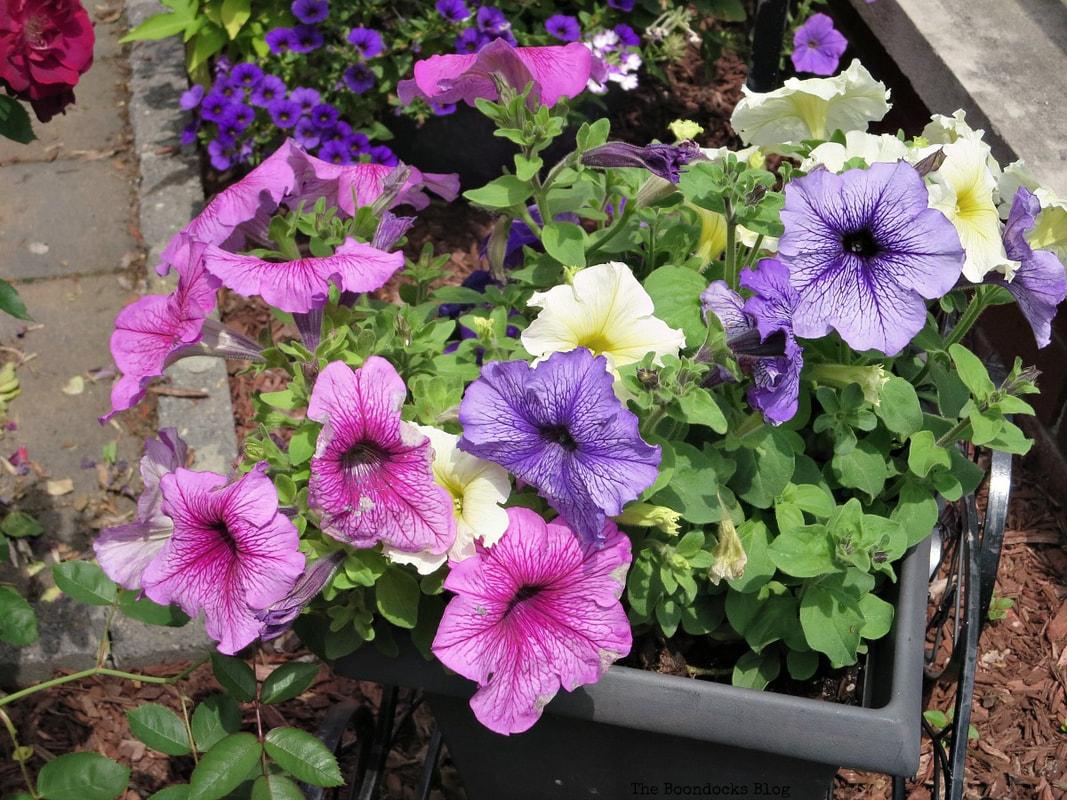 Petunias, 12 Varieties of Stunning Flowers in my Neighborhood www.theboondocksblog.com
