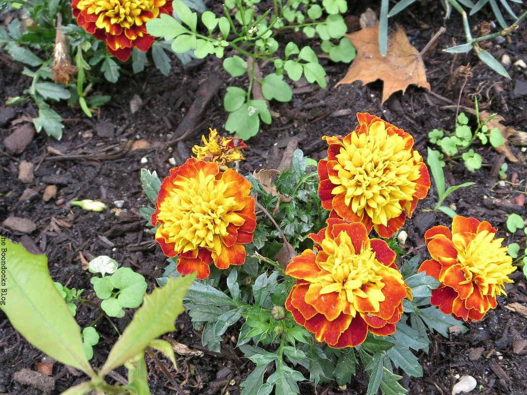 Marigold, 12 Varieties of Stunning Flowers in my Neighborhood www.theboondocksblog.com