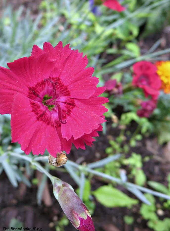 Red Dianthus, 12 Varieties of Stunning Flowers in my Neighborhood www.theboondocksblog.com