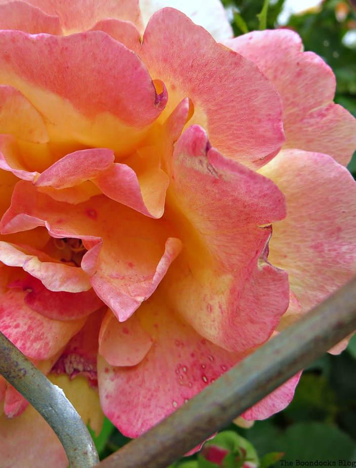 Pink and yellow rose, 12 Varieties of Stunning Flowers in my Neighborhood www.theboondocksblog.com