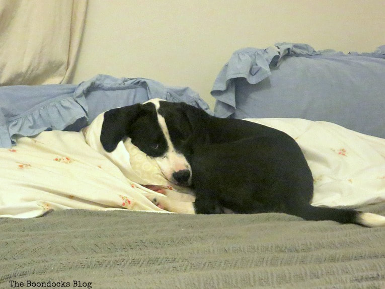Puppy on bed, How to Make an Easy No-Sew Bed Skirt with Drop Cloth www.theboondocksblog.com
