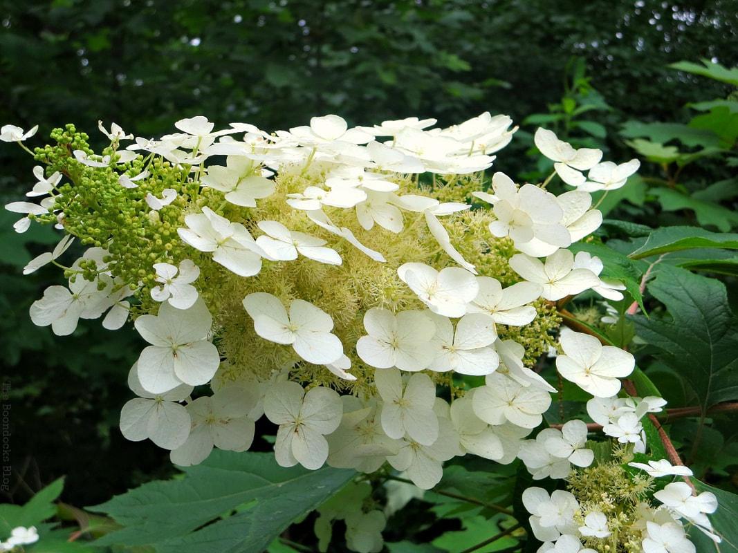 hydrangea, The Greatest Botanical Garden in the World, www.theboondocksblog.com
