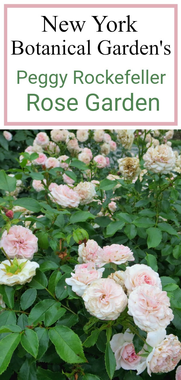A visit to the New York Botanical Garden's Peggy Rockefeller Rose Garden, Pink Roses, #NYBG #NewYorkBotanicalGarden #ThePeggyRockefellerRoseGarden #Roses #Flowers #Photography #photoessay #NewYork The Peggy Rockefeller Rose Garden: one of the best in the world www.theboondocksblog.com
