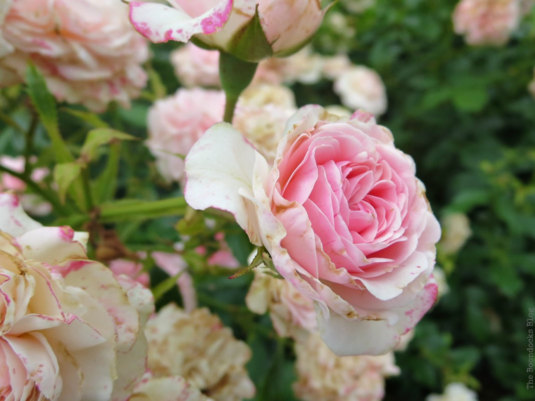 Soft pink roses, The Peggy Rockefeller Rose Garden: one of the best in the world www.theboondocksblog.com