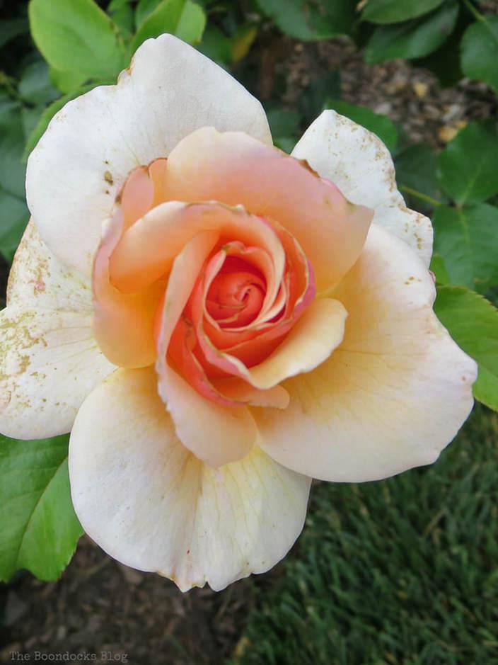 Soft orange rose, The Peggy Rockefeller Rose Garden: one of the best in the world www.theboondocksblog.com