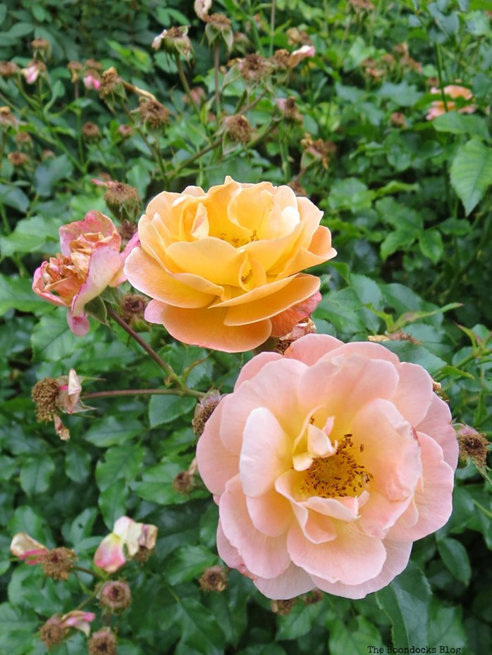 Pink and yellow roses, #NYBG #NewYorkBotanicalGarden #ThePeggyRockefellerRoseGarden #Roses #Flowers #Photography #photoessay #NewYork The Peggy Rockefeller Rose Garden: one of the best in the world www.theboondocksblog.com