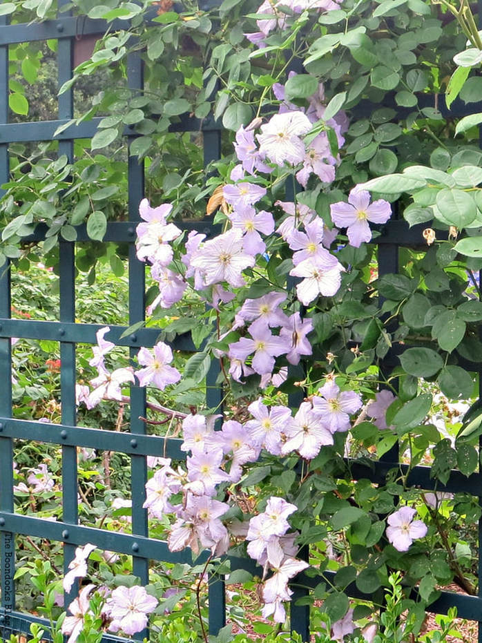 Lilac flowers on the fence, The Peggy Rockefeller Rose Garden: one of the best in the world www.theboondocksblog.com