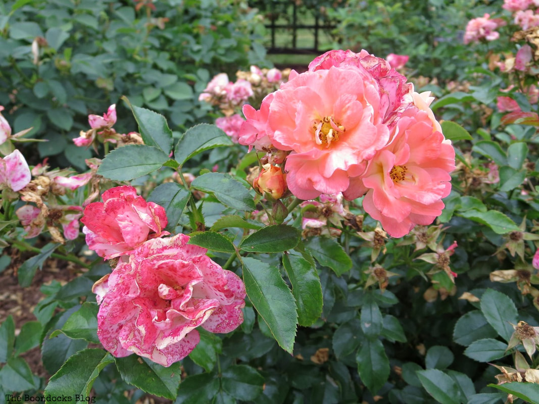 Deep pink and coral roses, The Peggy Rockefeller Rose Garden: one of the best in the world www.theboondocksblog.com