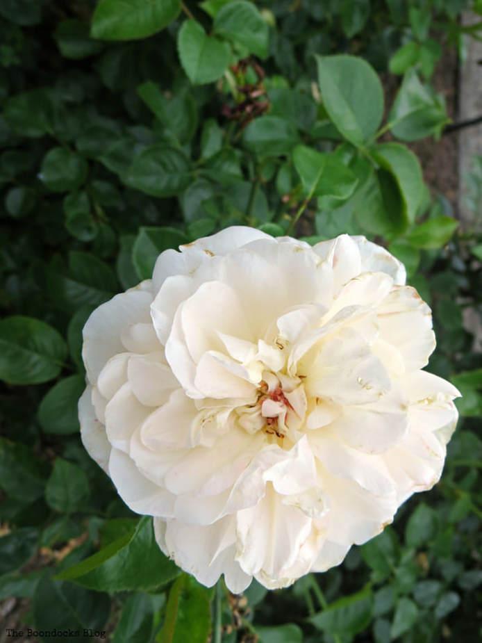 White rose, The Peggy Rockefeller Rose Garden: one of the best in the world www.theboondocksblog.com