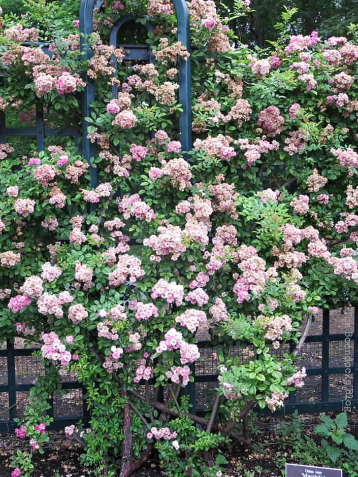 Pink roses on fence, #NYBG #NewYorkBotanicalGarden #ThePeggyRockefellerRoseGarden #Roses #Flowers #Photography #photoessay #NewYork The Peggy Rockefeller Rose Garden: one of the best in the world www.theboondocksblog.com