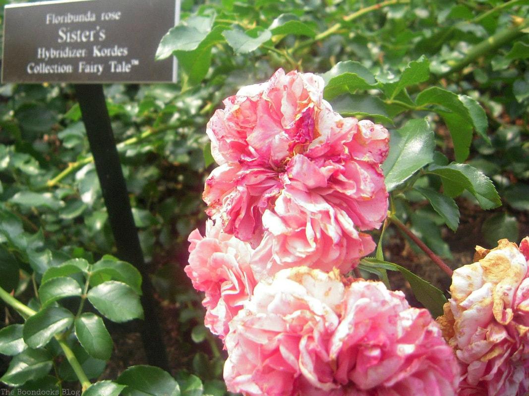 The Sister's Rose, #NYBG #NewYorkBotanicalGarden #ThePeggyRockefellerRoseGarden #Roses #Flowers #Photography #photoessay #NewYork The Peggy Rockefeller Rose Garden: one of the best in the world www.theboondocksblog.com