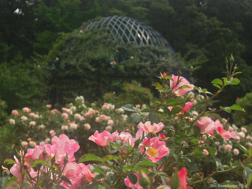 Roses with gazebo in the background, #NYBG #NewYorkBotanicalGarden #ThePeggyRockefellerRoseGarden #Roses #Flowers #Photography #photoessay #NewYork The Peggy Rockefeller Rose Garden: one of the best in the world www.theboondocksblog.com