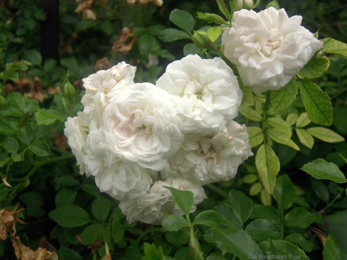 White Roses, #NYBG #NewYorkBotanicalGarden #ThePeggyRockefellerRoseGarden #Roses #Flowers #Photography #photoessay #NewYork The Peggy Rockefeller Rose Garden: one of the best in the world www.theboondocksblog.com