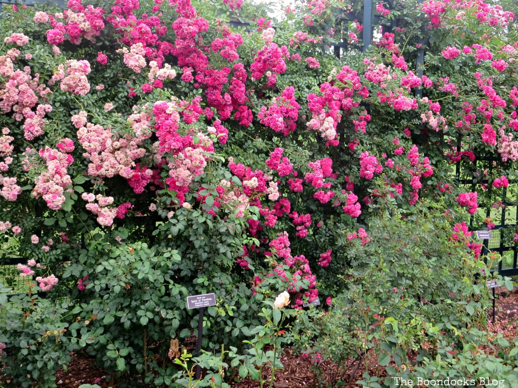 Roses growing on fence, The Peggy Rockefeller Rose Garden: one of the best in the world www.theboondocksblog.com